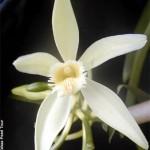 Vanilla flower - Taha'a