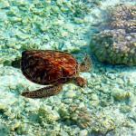 Turtle - Bora Bora