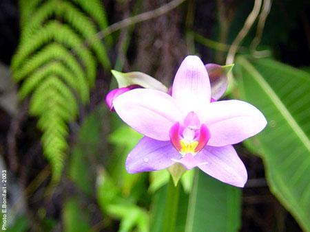 Fleurs De Tahiti Le Tahiti Traveler