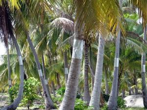 Protection des cocotiers