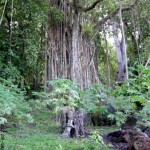 Banyan tree in Taaoa - Hiva Oa